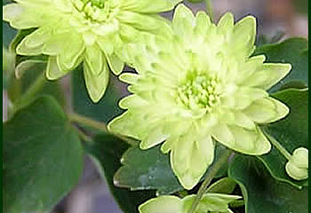 Анемонелла Anemonella Double Green