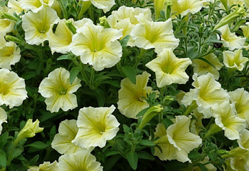Петуния Petunia Yellow Dream