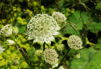 Астранция Astrantia Princess Sturdza