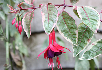 Фуксия Fuchsia Tom West