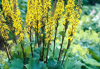 Бузульник Ligularia Little Rocket