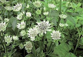Астранция Astrantia Star of Treasure
