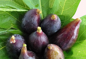 Инжир Fícus cárica LSU Purple Fig