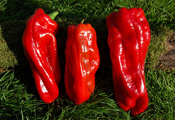 Перец острый Hot pepper Syrian Three Sided Pepper