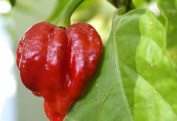 Перец острый Hot pepper Trinidad Scorpion Butch