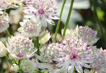 Астранция Astrantia Midnight Owl