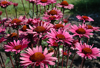 Эхинацея Echinacea Fatal Attraction