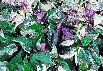 Перец острый Hot pepper Variegata