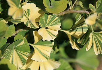 Гинкго билоба Ginkgo biloba Yellow Dragon