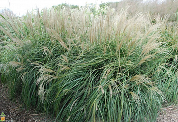 Мискантус китайский Miscanthus sinensis Morning Light Morning Light