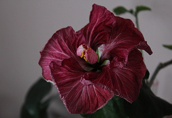 Гибискус Hibiscus Black Dragon
