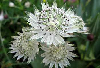 Астранция Astrantia Super Star