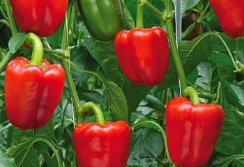 Перец сладкий ( Sweet pepper) Tweety Hybrid F1