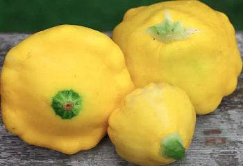Патиссон Scallop squash Yellow Scallop