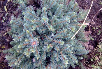 Ель канадская Picea canadensis Blue Planet