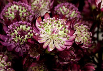 Астранция Astrantia Star of Royals