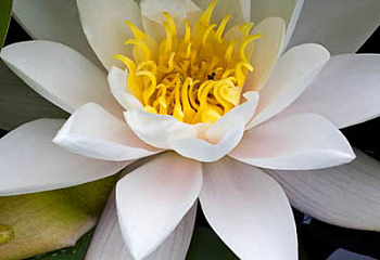 Лотос  European White Waterlily