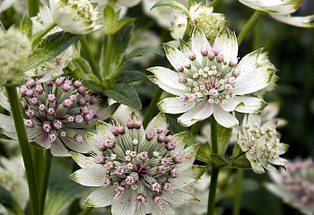 Астранция Astrantia Star of Passion