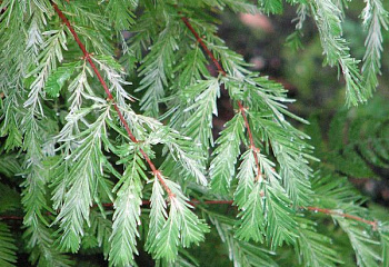 Метасеквойя Metasequoia White Spot