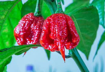 Перец острый Hot pepper Trinidad Moruga Scorpion Red