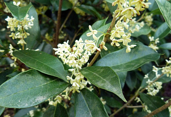 Османтус душистый или Чайная Олива Osmanthus fragrans