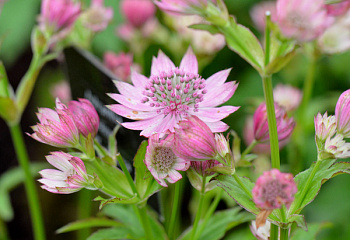 Астранция Astrantia Orion
