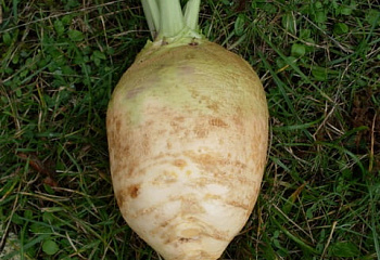Брюква Rutabaga Victory Neck less F1