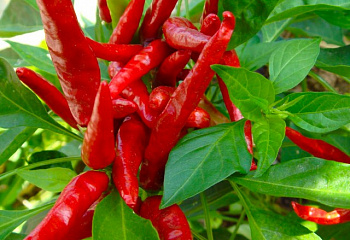 Перец острый Hot pepper Thai Dragon