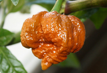 Перец острый Hot pepper Trinidad Scorpion Moruga Caramel