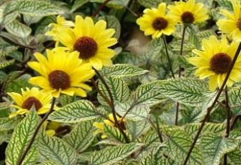 Гелиопсис Heliopsis Summer Green