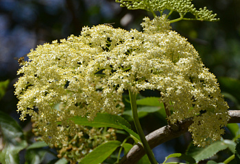 Бузина канадская Sambucus canadensis Witche's Broom