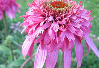 Эхинацея Echinacea Cotton Candy