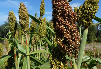 Сорго Sorghum Rox Orange