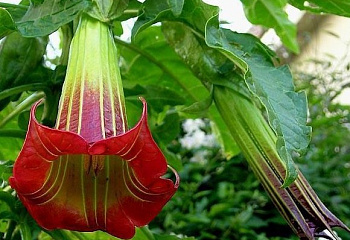 Бругмансия или Труба ангела Brugmansia Red Angels