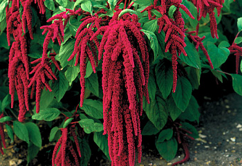 Амарант Amaranthus Flaming Fountains