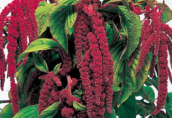 Амарант Amaranthus Love Lies Bleeding